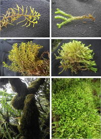The role of epiphytic bryophytes in interception, storage, and the regulated release of atmospheric moisture in a tropical montane cloud forest
